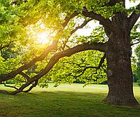 Куплю  ствол дерева-акация, орех, платан, дуб, вяз