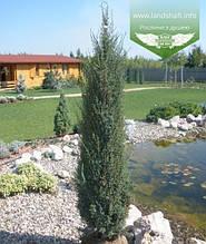 Juniperus communis 'Sentinel', Ялівець звичайний 'Сентінел',WRB - ком/сітка,120-140см