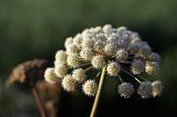 Анжелика Sinensis семена, фото 1