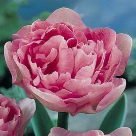 Луковица тюльпан Махровый Angelique, 1 шт