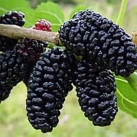 Саженцы Шелковицы Чёрный Принц -крупноплодная, урожайная, скороплодная