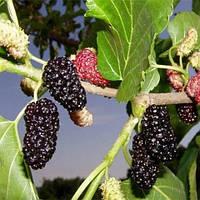 Саженцы Шелковицы Чёрная Турчанка - крупноплодная, урожайная