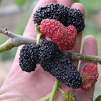 Саженцы Шелковицы Чёрная Королевская - крупноплодная, сладкая