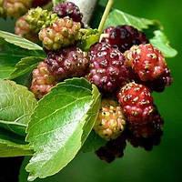 Саженцы Шелковицы Розовой Мереживо - крупноплодная, сладкая, урожайная