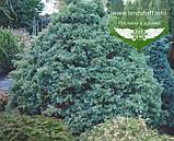 Chamaecyparis pisifera 'Squarrosa', Кипарисовик горохоплідний 'Сквароза',Кореневий ком/сітка,180-200см, фото 4