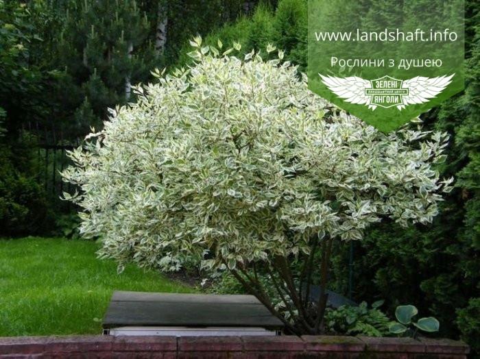 Cornus alba 'Elegantissima', Дерен білий 'Елегантіссіма',C5 - горщик 5л