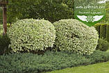 Cornus alba 'Elegantissima', Дерен білий 'Елегантіссіма',C5 - горщик 5л, фото 7