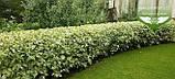 Cornus alba 'Elegantissima', Дерен білий 'Елегантіссіма',C5 - горщик 5л, фото 8