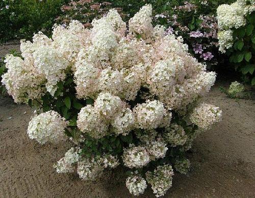 "Гортензія волотиста ""БоБо"" Hydrangea paniculata 'BoBo'"