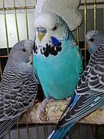 Ручной выставочный чех. Птенцы. Красочные попугайчики.