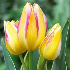 Луковицы тюльпанов Antoinette, 3 луковицы