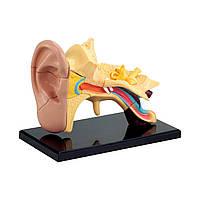 Набор для исследований Edu-Toys Модель анатомия уха сборная, 7,7 см (SK012)
