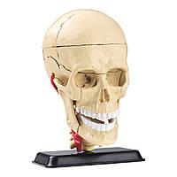 Набор для исследований Edu-Toys Модель черепа с нервами сборная, 9 см (SK010)