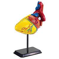 Набор для исследований Edu-Toys Модель сердца человека сборная, 14 см (SK009)