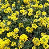 Ауриния(Алиссум скальный) Саммит 100 шт Голландия Жёлтый, фото 4