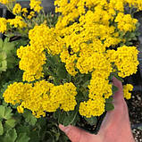 Ауриния(Алиссум скальный) Саммит 100 шт Голландия Жёлтый, фото 6