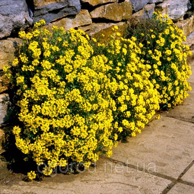 Ауриния(Алиссум скальный) Саммит 100 шт Голландия Жёлтый