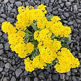 Ауриния(Алиссум скальный) Саммит 100 шт Голландия Жёлтый, фото 2