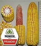 Семена  кукурузы  PR39D81