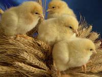 Продаем цыплята суточного бройлера росс308,кобб500