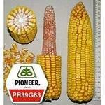 Семена кукурузы  PR39G83