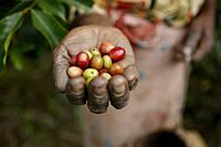 Неповторимый кофе из Восточного Тимора