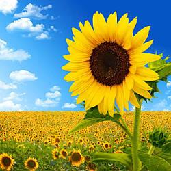 Насіння соняшника НС Х 6749 Новинка!