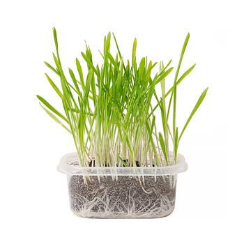 Трава для кошек (семена) в лотке Taotaopets 022237 мягкая быстрорастущая