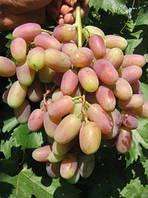 Саженцы винограда сорт Виктор