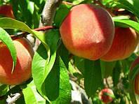 Саженцы персика, нектарина
