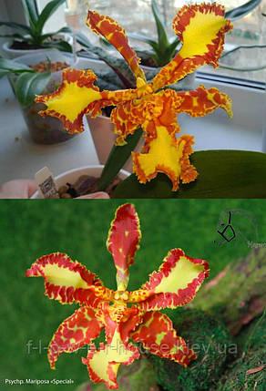 Орхидея Psychp. Mariposa 'Special', фото 2