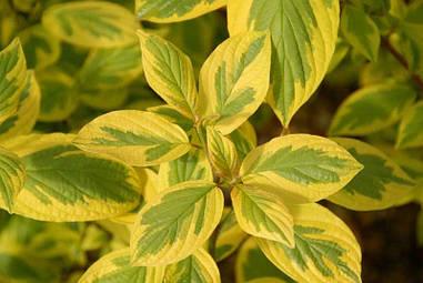 Дерен білий Spaethii 3 річний, Дерен белый Спаети / Шпети, Cornus alba Spaethii.