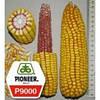 Семена кукурузы  P 9000