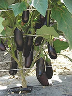 Семена баклажана Дестан F1 10г