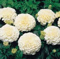 Семена цветов Бархатцы американские Зефир 100 семян