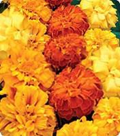 Семена цветов бархатцы Долорес Formula Mix 250 с