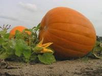 Семена тыквы Жовтий Велетень 2 г
