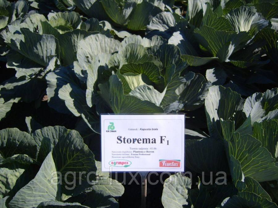 Капуста белокочанная Сторема F1 2500 семян (калиброванные) Rijk Zwaan / Рийк Цваан