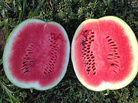 Семена арбуза Ливия Ф1 1000 шт Clause / Клоз