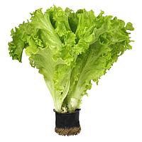 Семена салата кучерявого Афицион (тип Батавиа) 5 г