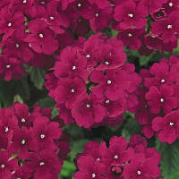 Семена цветов Вербены Кварц Бургунди 100 шт