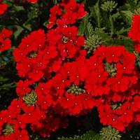 Семена цветов Вербены Кварц Скарлет 100 шт