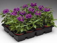 Семена цветов Вербены Обсешн  F1,лиловая 100 шт