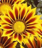 Семена цветов Газании Golden Star 100 семян