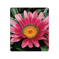 Семена цветов Газании Rose Picotee 100 семян