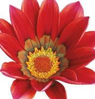 Семена цветов Газании Scarlet 100 семян