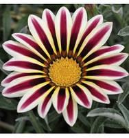 Газания  White Star, 100 семян