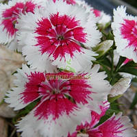 Семена гвоздики Амико Crimson Picotee 100 драже