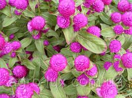 Семена цветов гомфрены Будди пурпурной 200 шт Hем Zaden