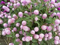 Гомфрена Будди розовая 200 шт Бенари